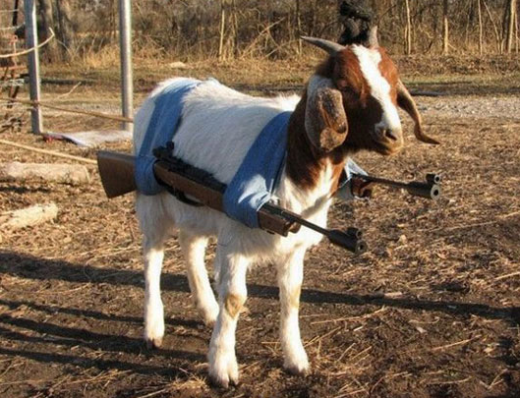 I forgot to get pictures of the process prior to fermentation so instead here is a picture of a Tactical Goat.